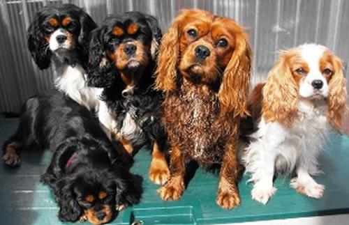 File:Cavalier puppy.jpg