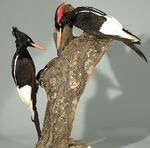 Imperial Woodpecker specimens