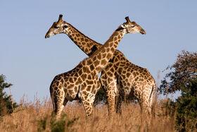 Giraffe Ithala KZN South Africa Luca Galuzzi 2004