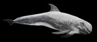 Rissos Dolphin model