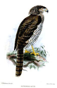 Madagascan Serpenteagle