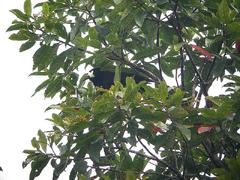 Paradigalla brevicauda in tree