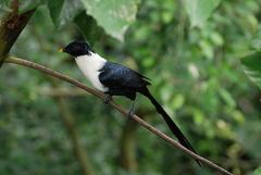 White-necked Myna