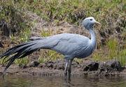 Blue crane SA
