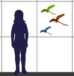 Confuciusornithidae sizes