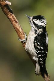 Downy Woodpecker02