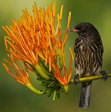 Palmchat near flower