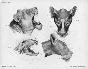 Lion anatomy head