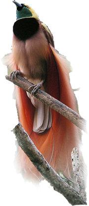 Bird faces up with green face, black breast and pink lower body. Elaborate long feathers on the wings and tail.