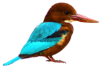 White-throated Kingfisher2