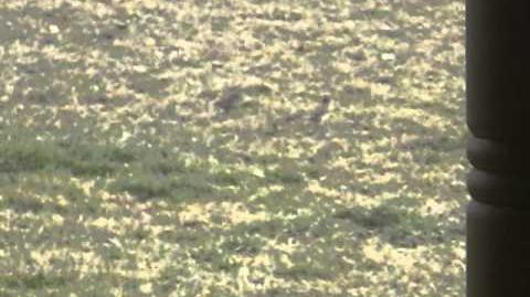 Meadowlarks, Sturnella cf. magna and Starlings, Sturnus vulgaris