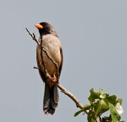 Saltator atricollis -Bonito, Mato Grosso do Sul, Brazil-8