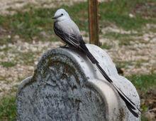 Tyrannus forficatus -headstone-8