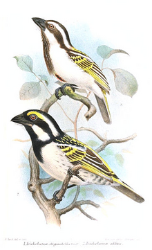 Black-throated and Pied Barbet