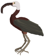 Long-billed Ibis