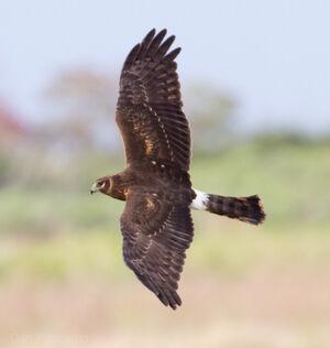 Northern Harrier2 by Dan Pancamo