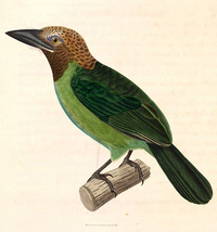 Brown-throated Barbet