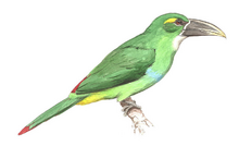 Yellow-browed Toucanet