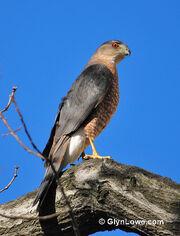 Cooper's Hawk - (Explored)