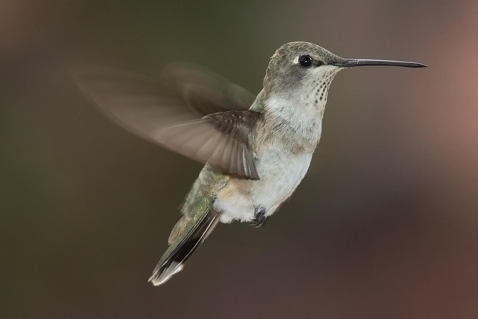 Hummingbird all birds wiki fandom powered by wikia hummingbird biocorpaavc Gallery
