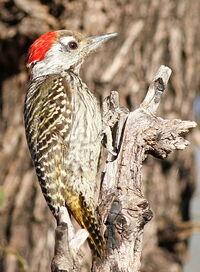 Male Cardinal Woodpecker