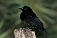 Ptiloris victoriae -Daintree, Queensland, Australia-8 (1)