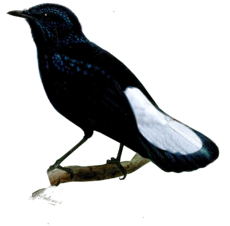 Silktail