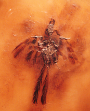 Parargornis messelensis