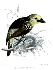 Anchieta's Barbet