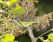 Javan Grey-throated White-eye (Lophozosterops javanicus)