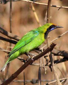 Golden Fronted Leafbird Mukulhinge
