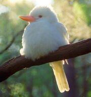 Albinok
