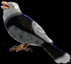 Black-and-white Thrush