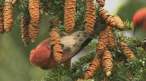 How Nature Works White-winged Crossbill Feeding Technique