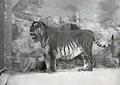 Panthera tigris virgata