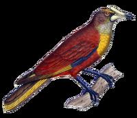 Casqued Oropendola