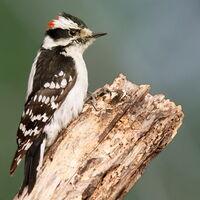 Downy Woodpecker01