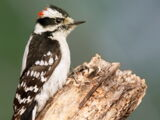 Appendix:Downy Woodpecker vs. Hairy Woodpecker