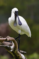 Royal Spoonbill mouth open