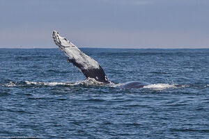 Humpback Whale (Megaptera novaeangliae) - Pectoral fin waving