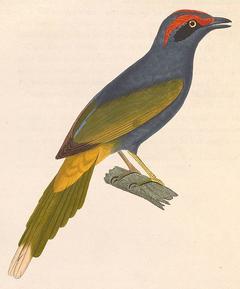 Fiery-browed Starling