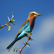 Lilac-Breasted Roller with Grasshopper on Acacia tree in Botswana (small) c