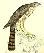 Accipiter francesiae 1868