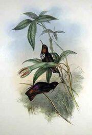 Aglaeactis castelneaui - Gould