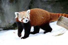 Red Panda Main