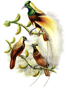 Emperor Bird-of-paradise illustration