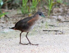Rufous-sided Crake (Laterallus melanophaius)-crop