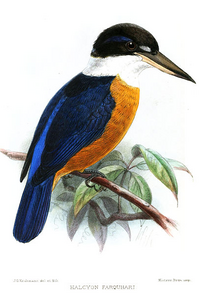 Chestnut-bellied Kingfisher
