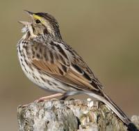 American sparrow