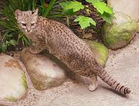 Geoffroys Cat
